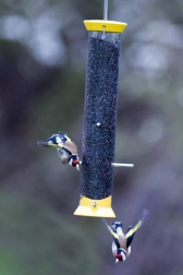 Goldfinch Flocker