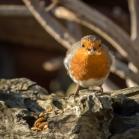 Robin Bird Food and Feeder Pack