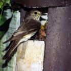 Schwegler 2H Open Nest Box