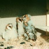 Schwegler No. 23 Barn Owl & Kestrel Nestbox