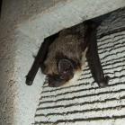 Schwegler 1FR Bat Tube