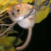 Dormouse House