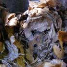 Schwegler 2KS Common Dormouse