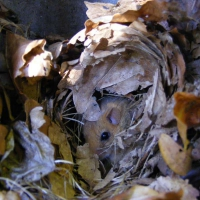 Schwegler 2KS Common Dormouse