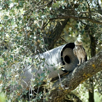 Schwegler No.20 Little Owl Nest Box