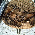 Schwegler 1FS Large Colony Bat Box