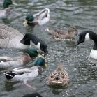 Ark Duck & Swan Floating Food