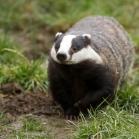 Ark Badger Food