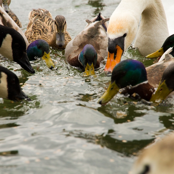 Duck & Swan Food